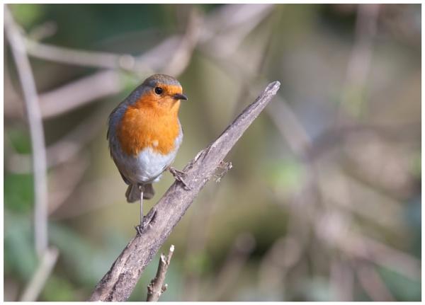 Robin hood by davidgibson