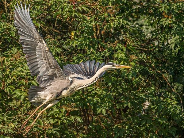 Heron Full Flight by chensuriashi