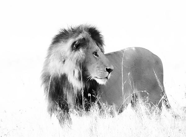 Mono Lion by JeanE