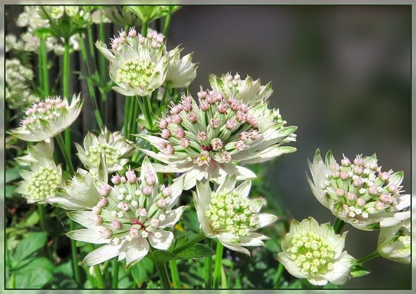 Astrantia 2 by Sylviwhalley