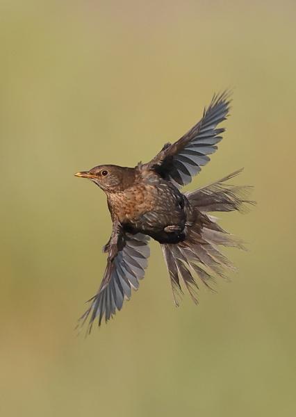Juvenile Blackbird in Flight