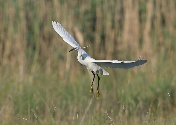 Little Egrets in Flight by NeilSchofield