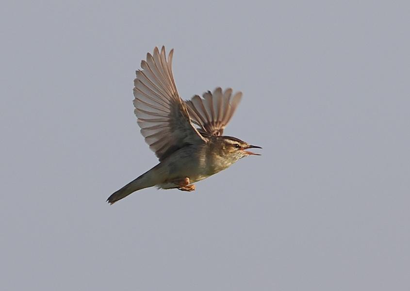 Sedge Warbler in Flight
