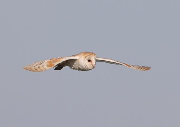 Barn Owl by NeilSchofield