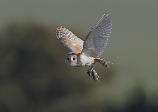 Barn Owl with Prey by NeilSchofield