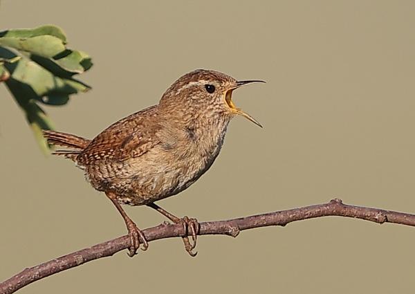 Singing Wren by NeilSchofield