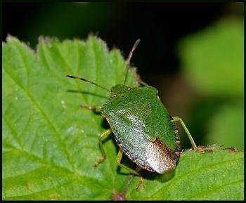Green Shield Bug #
