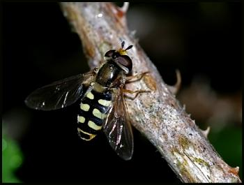 Hoverfly - Eupeodes luniger #