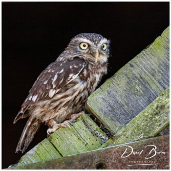 Little Owl, big stare!