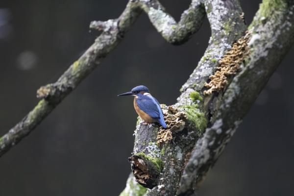 kingfisher by stevegilman