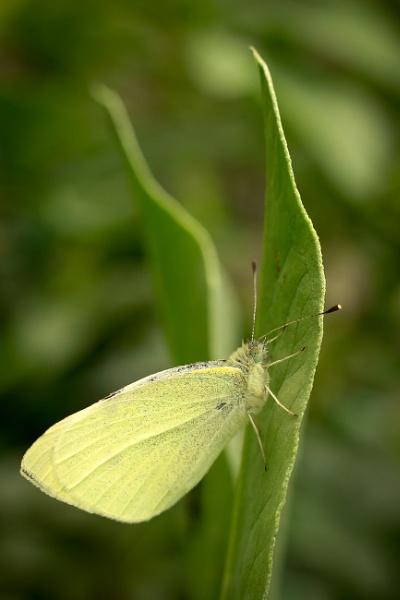 Small White butterfly sleeping by JackAllTog