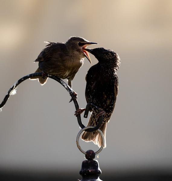 Starling (Sturnus vulgaris) by Ray_Seagrove