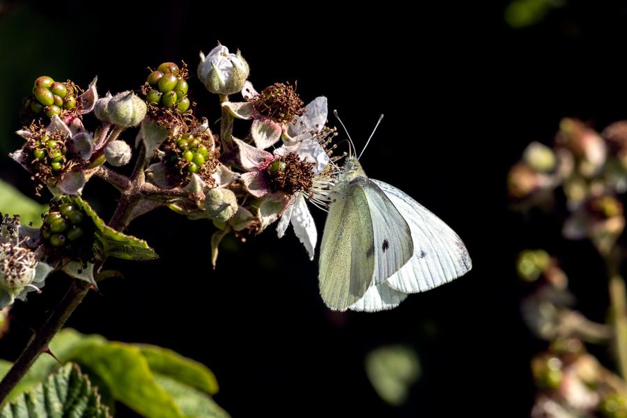 Small Cabbage White butterfly (Pieris rapae) feeding on a Blackb