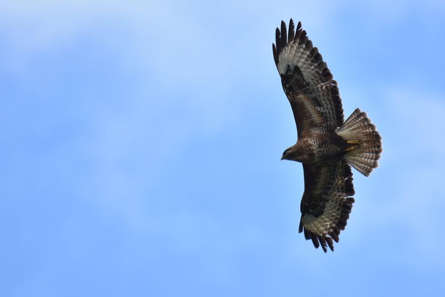 buzzard - I think ?