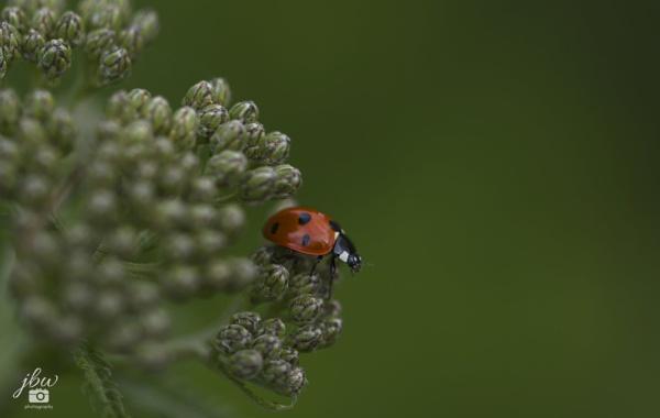 Ladybird by Jodyw17
