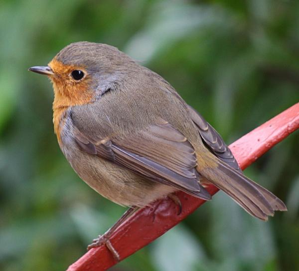 Robin - Erithacus rubecula by peterkin
