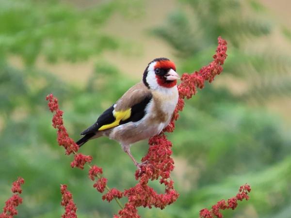 Goldfinch by JanOByrne