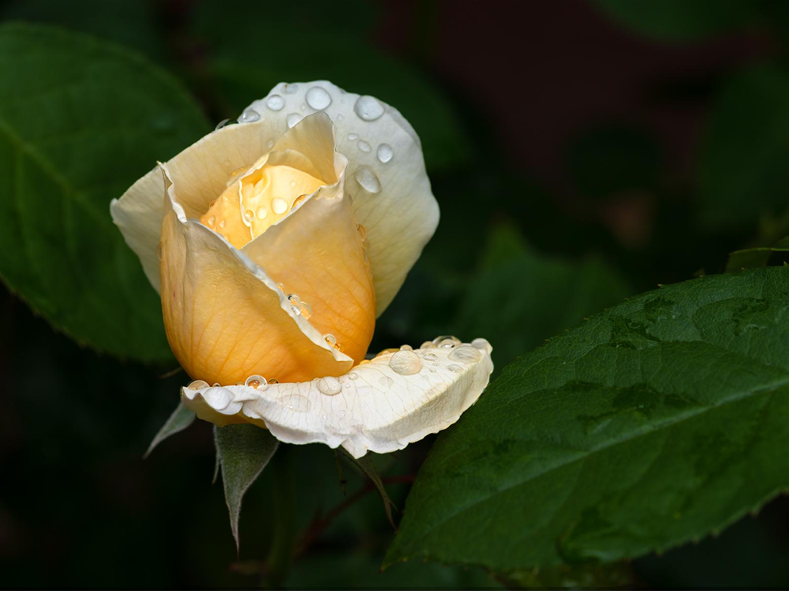 Raindrops on Rosebud 2