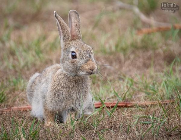 The Little Wild Rabbit by MartinWait