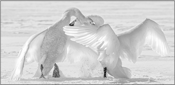 Whooper Swans squabbling in the snow by hibbz