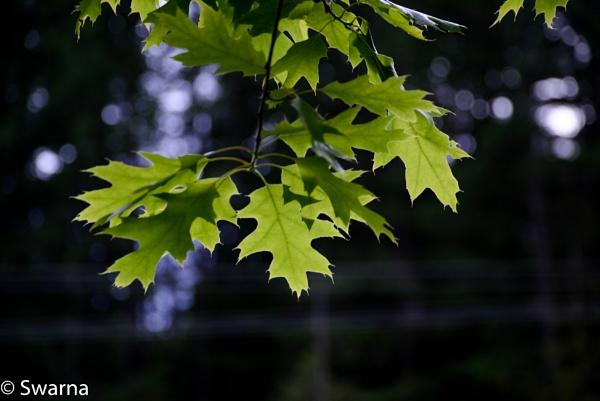 Green Leaves of Summer... by Swarnadip
