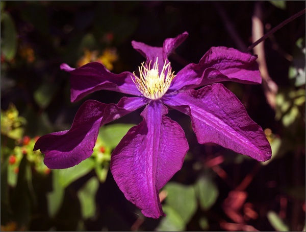 Clematis shadows - 2 by JuBarney