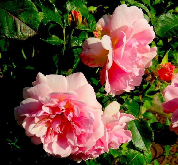 Weatherbeaten roses by ddolfelin