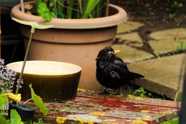 MALE BLACKBIRD. by kojack