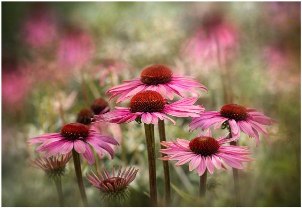 Echinacea by capto