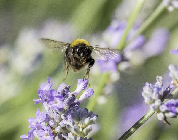 Lavender Bee by doverpic