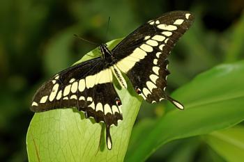 Ornythion Swallowtail