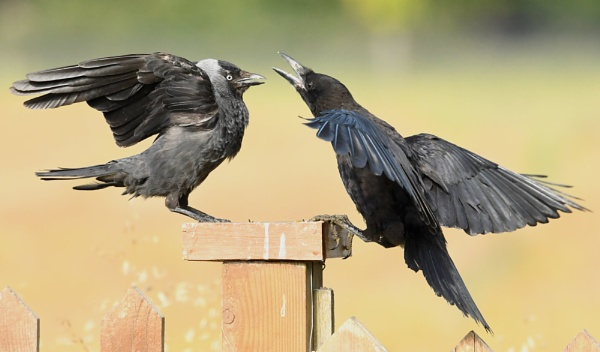 Adult Jackdaw vs Juvenile Rook by AlexAppleby