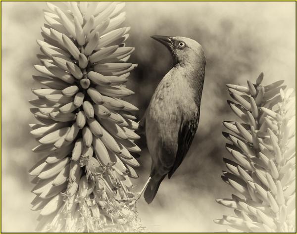 B&W Cape Weaver bird on Aloe by fotobee