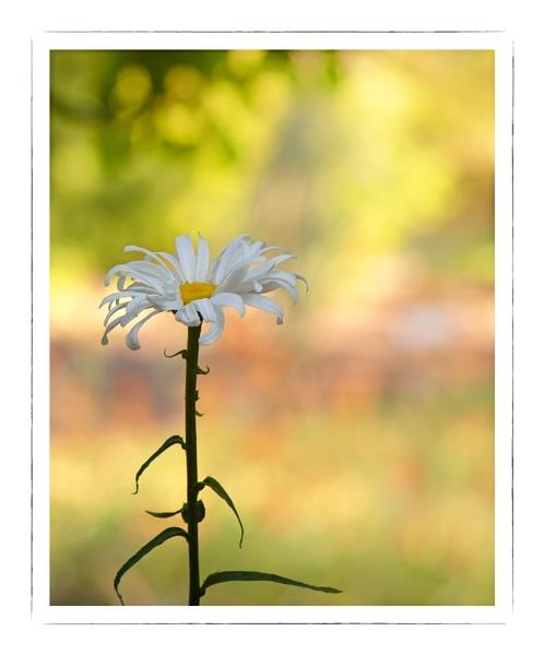 Daisy at Sundown by taggart