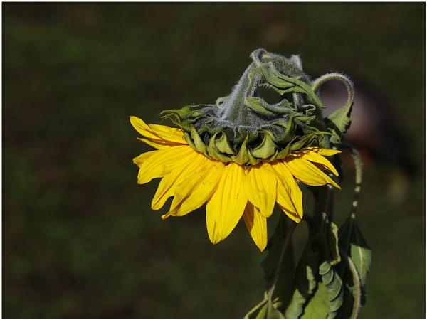 Sunflower by sueriley