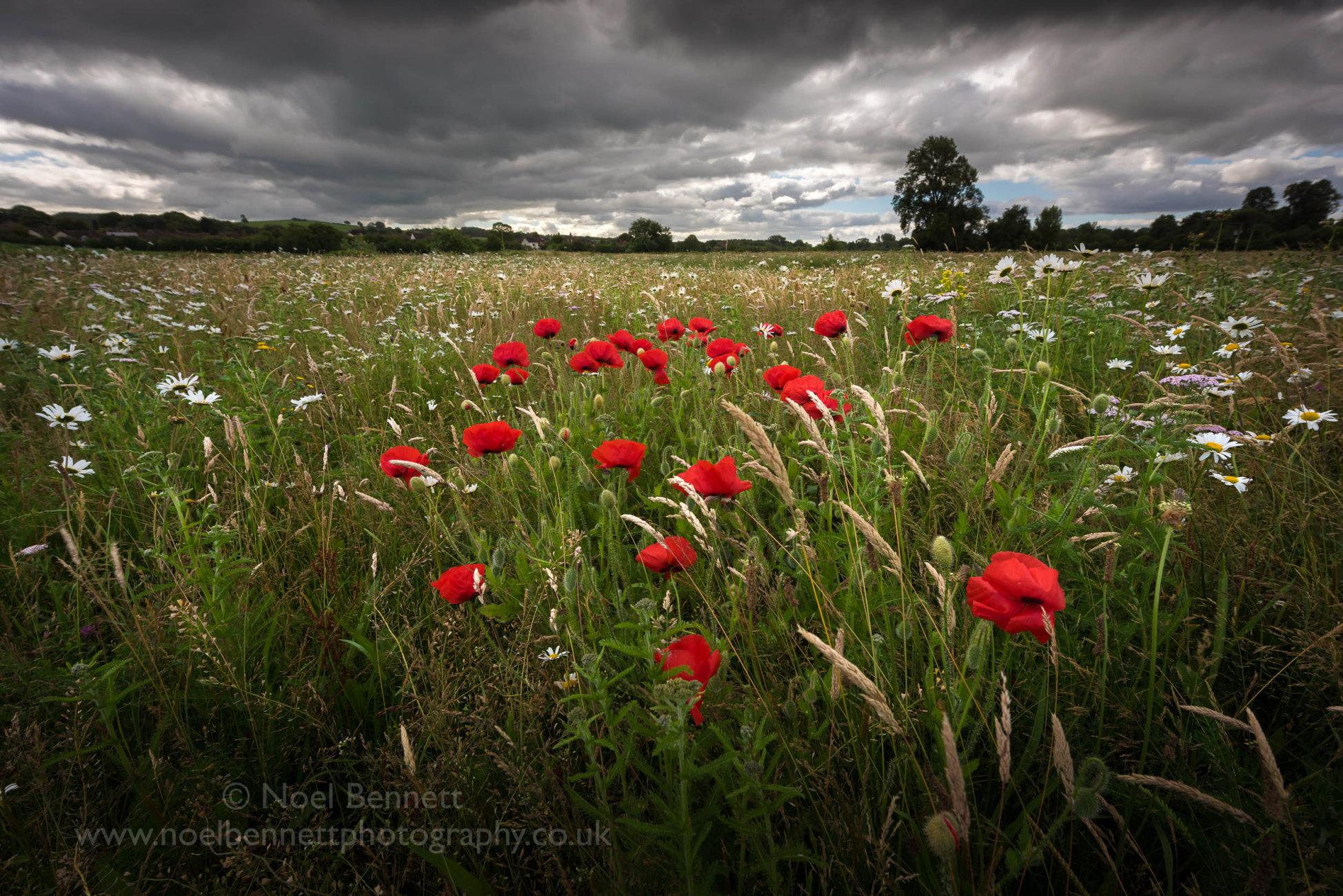 Bright Poppies Under Heavy Skies