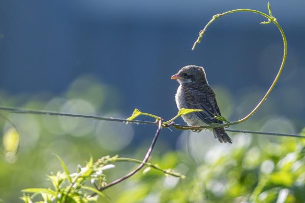 Baby Shrike - Red-backed Shrike by robert61