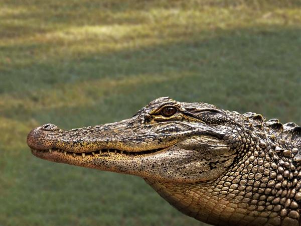 Crocodile up close by Wireworkzzz