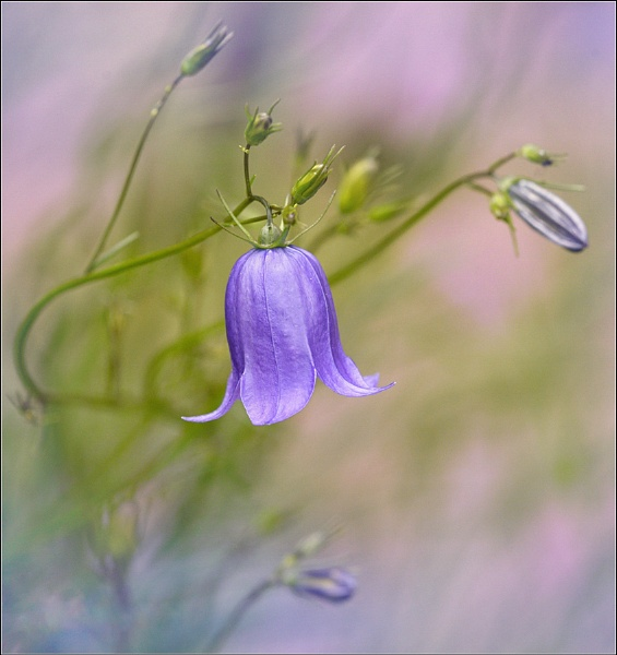 Harebell. by bricurtis