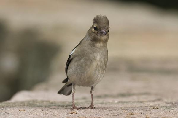 Female Chaffinch by PGibbings