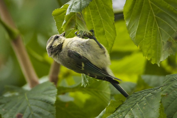 Juvenile Blue Tit by PGibbings