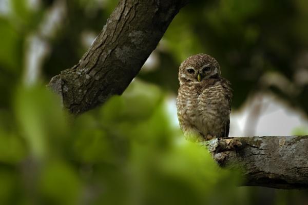 Owl by sumansingha