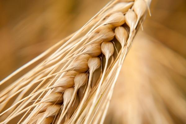 wheat by rockabilly