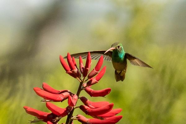 Ruffus Tailed hummingbird looking for the nectar by garzaj
