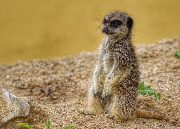 Meerkat with stubby tail. by martin174