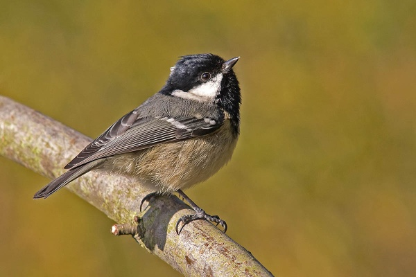 A Coal Tit by johnsd