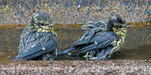 Bathing juvenile blue tits by oldgreyheron