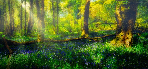 Bluebells through the Mist by douglasR