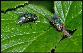 Two Greenbottles - Standing on a Leaf #