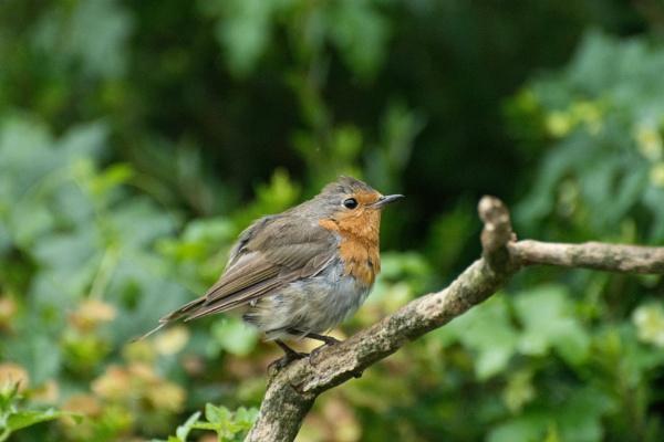 Rainy Robin! by LinH